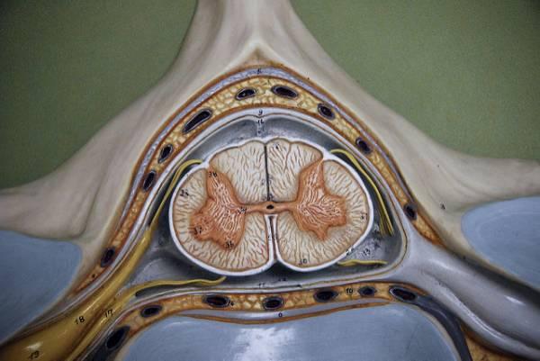 Sezione trasversale di un modello di midollo spinale
