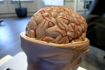 Un modello di cervello